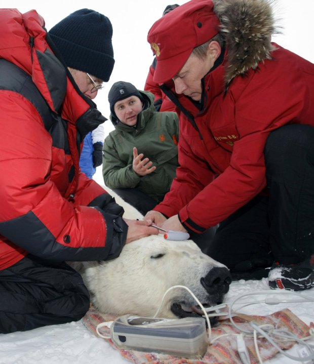hes-also-shot-a-polar-bear-for-science-this-allowed-researchers-to-tag-and-track-the-arctic-bear